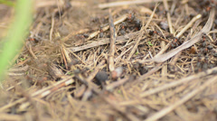 Ants on an anthill closeup, dolly shot Stock Footage