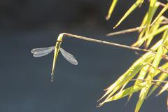 Dragonfly on bamboo Stock Photos