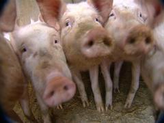 Grunting pigs Stock Footage