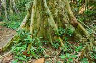 Stock Photo of big tree roots tropical jungles of south east asia