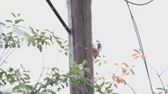 Woodpecker, sits on a pillar Stock Footage
