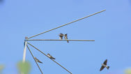 Stock Video Footage of Family of martlets sitting on the TV antenna