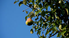 Pear on the tree Stock Footage