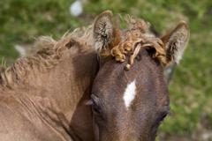 A foal with golden curls. - stock photo