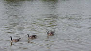 Stock Video Footage of Three Canada Geese