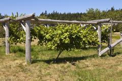grapevine on wood trellis - stock photo