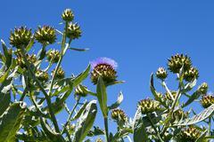 Artichoke crop on organic farm Stock Photos