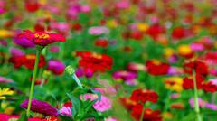 zinnia flower field multi color - stock photo