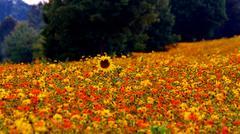Sunflower in zinnia flower field Stock Photos