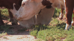 Cattle eat feed cake on ground Stock Footage