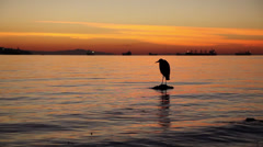 Bird on water by sunset Stock Footage