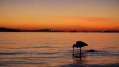 Great Blue Heron bird in Vancouver Stock Footage