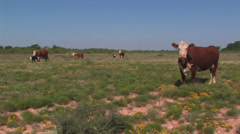 Cattle come to feed - stock footage
