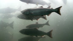 Salmon Passing Through Fish Ladder - stock footage
