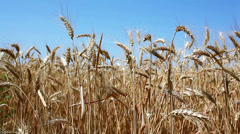 Wheat on the old wooden background Stock Footage