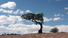 Desert lone cedar tree on sandstone mountain top HD 9911 Stock Footage