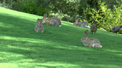 Rabbits Quails Munch Grass Stock Footage