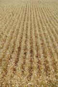 Maissi kentän tausta Kuvituskuvat