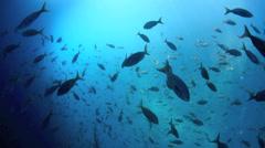 Reef sharks swimming below school of fish Stock Footage