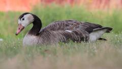 Barnacle Goose, Branta leucopsis Stock Footage
