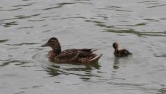 Mallard Duck with baby, Anas platyrhynchos Stock Footage