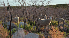 Pag Island Sheep 2 Stock Footage