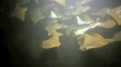 Golden cownose rays underwater night time slow motion Stock Footage