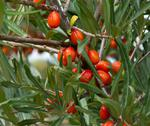 Stock Photo of sea-buckthorn.