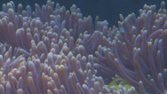 Stock Video Footage of tropical clown fish