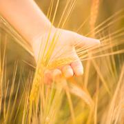 hand holding wheat. closeup - stock photo