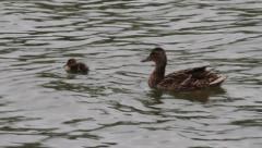 Mature and immature Mallard Ducks, Anas platyrhynchos Stock Footage
