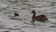 Stock Video Footage of Mature and immature Mallard Ducks, Anas platyrhynchos