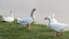 Gooses, Geese, Anser Stock Footage
