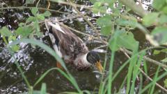 Mallard Duck, Anas platyrhynchos Stock Footage