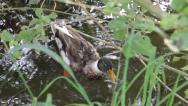 Stock Video Footage of Mallard Duck, Anas platyrhynchos