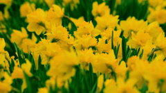 Daffodils in the wind Stock Footage