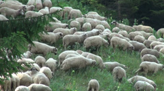 Shepherd and sheep on mountain meadow, grazing, field, pasturage, organic farm - stock footage