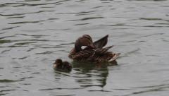 Mallard Duck and duckling, Anas platyrhynchos Stock Footage