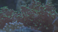 Stock Video Footage of tropical anemones