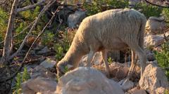 Pag Island Sheep 4 Stock Footage