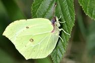 Stock Photo of Brimstone Butterfly