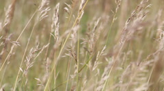 Feather grass in wind Stock Footage