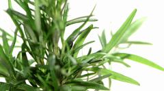 Rotating isolated Rosemary Stock Footage