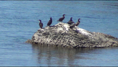 Cormorant on a rock Stock Footage