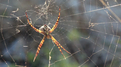 Nasty old wasp spider sunbathing on its net 1 Stock Footage