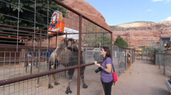 Girl feeding Camel Stock Footage