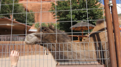 Girl feeding Camel - stock footage