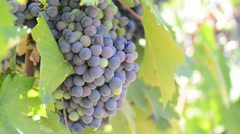 Red Grapes on the Vine Stock Footage