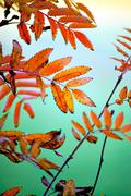 colorful leaves of rowan tree in autumn - stock photo