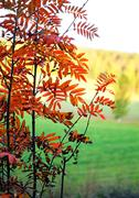 Rowan tree in rural landscape Stock Photos